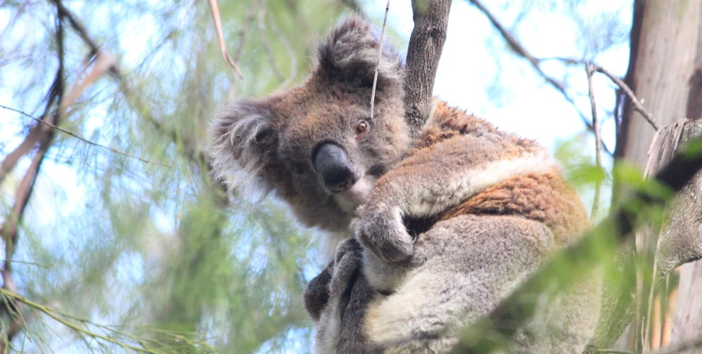 Koalas Need More Than A Population Census: Open Letter to Federal Environment Minister