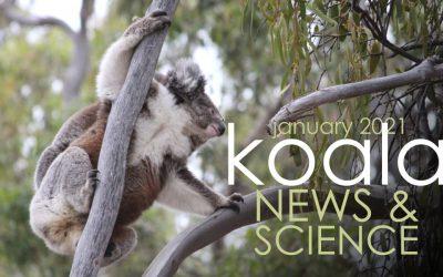 Koala News & Science: January 2021
