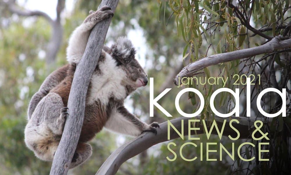 koala climbing tree funny angle