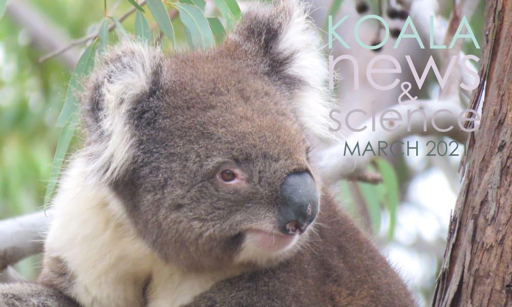 male koala looking away news march 2021