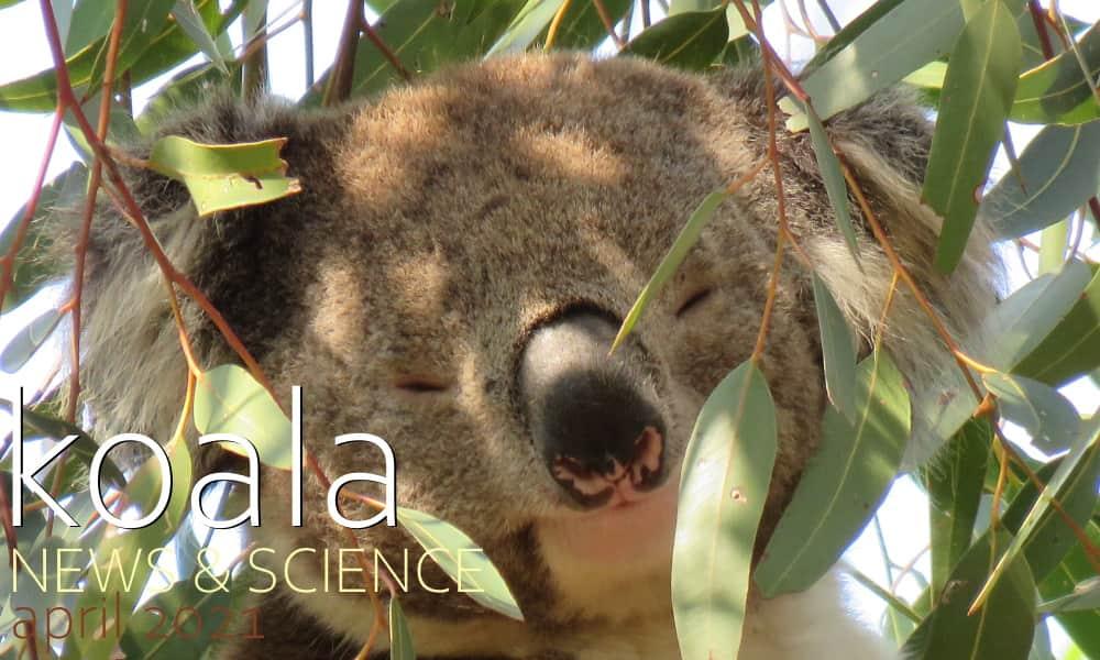 Koala News & Science April 2021